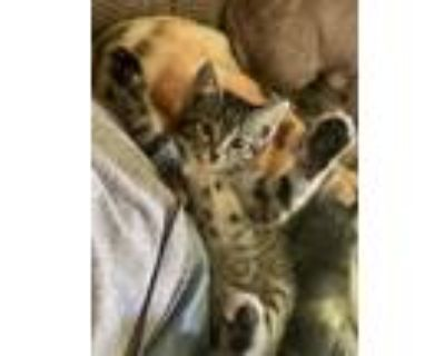 Adopt Smudge a Brown or Chocolate Bengal / Mixed (short coat) cat in Maryville