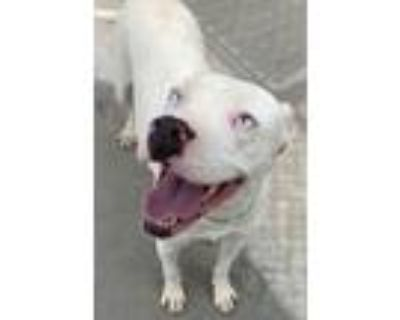 Adopt Jenny a Boxer, Pit Bull Terrier