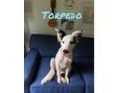 Adopt Torpedo a Labrador Retriever, Collie