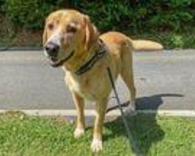 Buddy, Labrador Retriever For Adoption In Cumming, Georgia