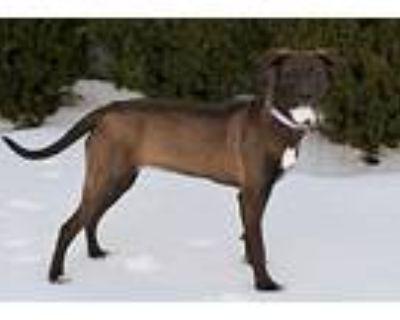 Cinna, Labrador Retriever For Adoption In Norfolk, Virginia
