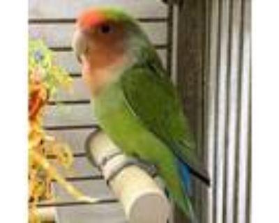Adopt Augie a Lovebird