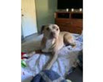 Adopt TINO a Pit Bull Terrier, Labrador Retriever