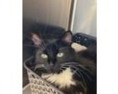 Adopt Maybell a Domestic Mediumhair / Mixed cat in Golden, CO (32124646)