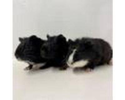 Adopt Leo a Guinea Pig