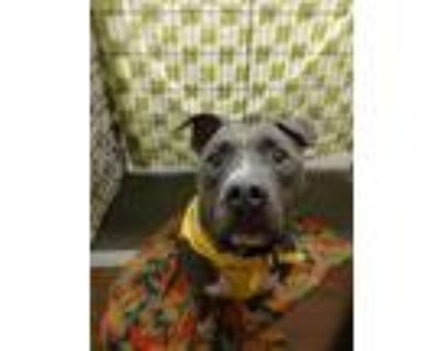 Adopt Pterygota a Staffordshire Bull Terrier