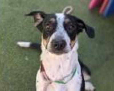 Adopt Callie - Phoenix area (COURTESY POST) a Border Collie, Cattle Dog