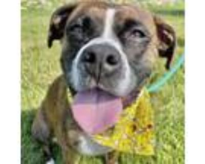 Adopt Anda a Brindle Boxer / Mixed dog in Merriam, KS (30956565)