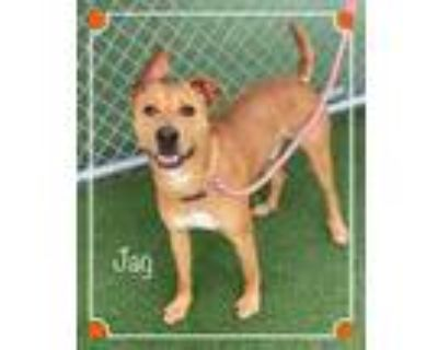 Adopt JAG a Brown/Chocolate - with White Labrador Retriever / Mixed dog in
