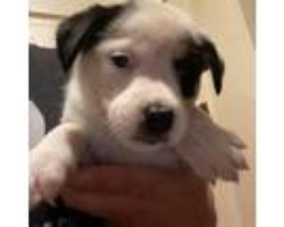 Adopt Pink Lady Dash a Australian Cattle Dog / Blue Heeler