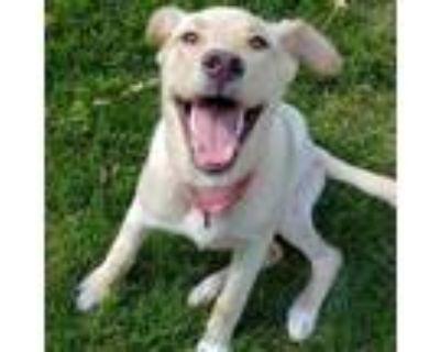 Adopt Camaro a Tan/Yellow/Fawn Labrador Retriever / Great Pyrenees / Mixed dog