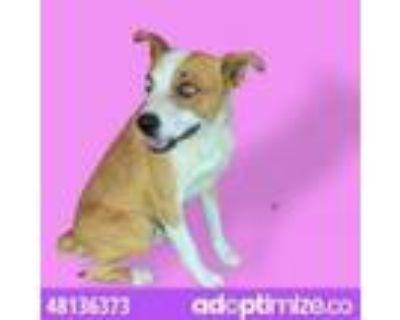 Adopt 48136373 a Brown/Chocolate Blue Heeler / Mixed dog in El Paso
