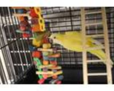 Adopt Quaker Parrot Yellow a Yellow Other/Unknown / Other/Unknown / Mixed bird
