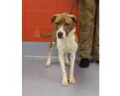 Adopt YUMMY POLLO a Brindle - with White American Pit Bull Terrier / Mixed dog