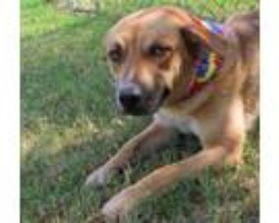 Adopt GEORGE 363689 a German Shepherd Dog, Labrador Retriever