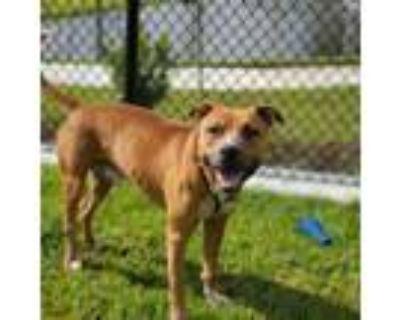 Adopt Huck a Pit Bull Terrier