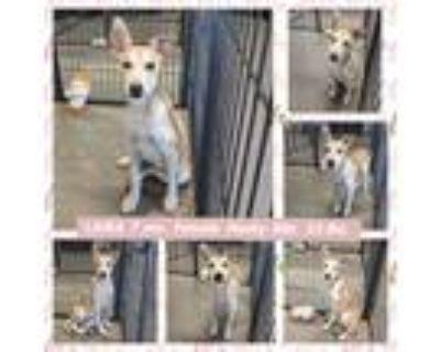 Adopt LAIKA a Tan/Yellow/Fawn Husky dog in Mesa, AZ (31850523)