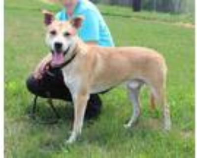 Adopt FIGGY WIDDIT a Tan/Yellow/Fawn - with White Labrador Retriever / Mixed dog