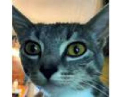 Adopt Quinn Now Cirrus a Gray or Blue Domestic Shorthair / Mixed cat in