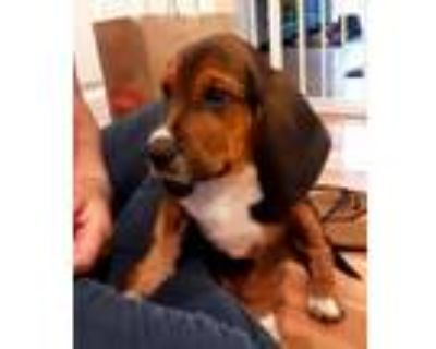 Adopt Lance a Tricolor (Tan/Brown & Black & White) Basset Hound / Mixed dog in