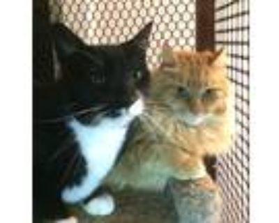 Adopt Calvin a Orange or Red Domestic Longhair (long coat) cat in Alamo