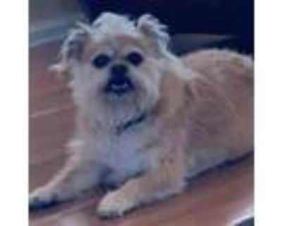 Adopt Chewy (557) a Brussels Griffon