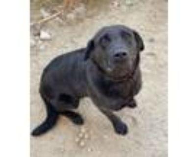 Brodie, Labrador Retriever For Adoption In Palm Springs, California