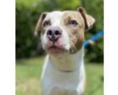 Adopt Brick a Mixed Breed (Medium) / Pit Bull Terrier / Mixed dog in Portsmouth