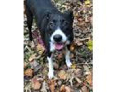 Adopt Miss P a Black - with White Labrador Retriever / Border Collie / Mixed dog