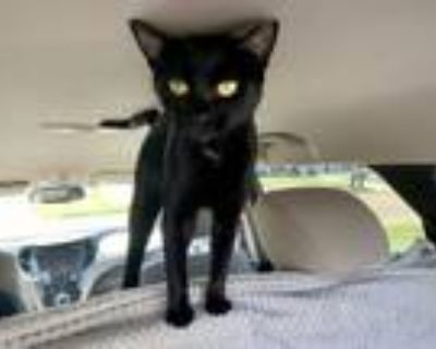 Adopt Panther a Domestic Short Hair