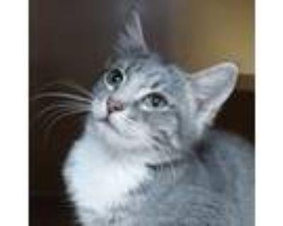 Adopt Oberon -ADOPTED a American Shorthair, Domestic Short Hair