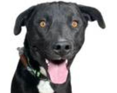 Adopt Zeke a Black Labrador Retriever / Mixed dog in Reno, NV (31262410)