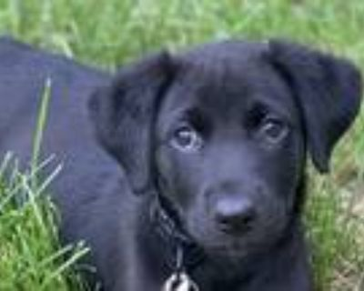 Adopt Morgan McLeod a Black Great Dane dog in Merrifield, VA (31649801)