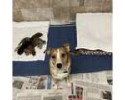 Adopt Willie Red Robin a Catahoula Leopard Dog