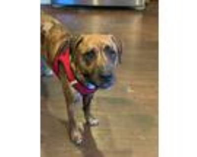 Adopt Milly a Boxer, Black Mouth Cur