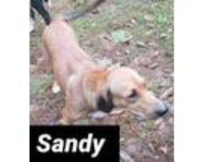 Adopt Sandy a Labrador Retriever, Hound