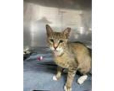Adopt Mystery a Gray or Blue Domestic Shorthair / Domestic Shorthair / Mixed cat