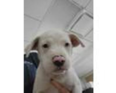 Adopt Puppy 5 a White American Pit Bull Terrier / Mixed dog in Fort Worth