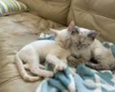 Adopt Willy aka Lilly a White Domestic Shorthair cat in Denver, CO (31983634)