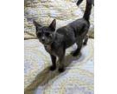 Adopt 5262 Venus a Calico or Dilute Calico Domestic Shorthair cat in Hartwell