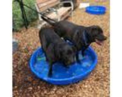 Adopt Thor a Labrador Retriever, Rottweiler
