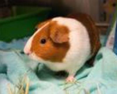 Adopt A498672 a Guinea Pig