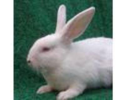Adopt AUBIN a White Dwarf Hotot / Mixed rabbit in Goleta, CA (30021810)