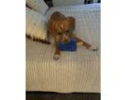 Adopt Oliver a Red/Golden/Orange/Chestnut - with White Beagle / Mixed dog in