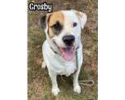 Adopt Crosby a Great Pyrenees, Mastiff