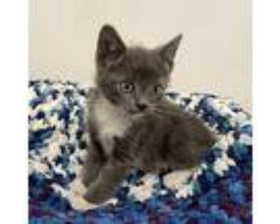 Ashton, Russian Blue For Adoption In Cerritos, California