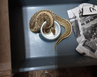 Mocha Pinstripe Ball Python