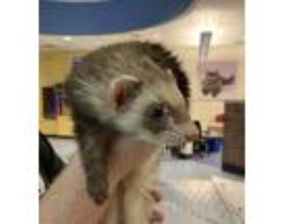 Adopt Trouble a Ferret small animal in Golden, CO (31945704)