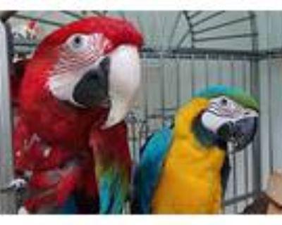 Scooby, Macaw For Adoption In Elizabeth, Colorado