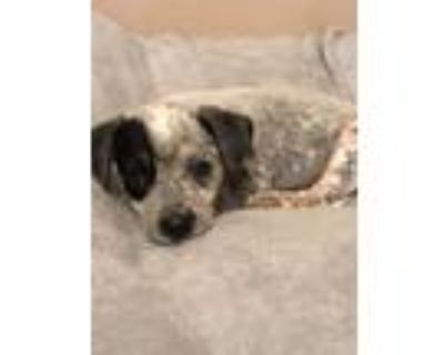 Adopt Penny a Merle Blue Heeler / Mixed dog in Fort Worth, TX (31597790)
